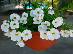 P1110081 (1) (nzboyinoz) Tags: flowers colour garden sunny australia mermaidwaters goldcoast queensland panasoniclumixdmctz110 justinvickers justinrvickersgmailcom