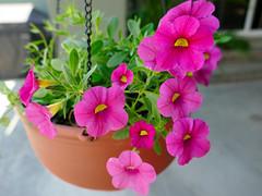 P1110079 (1) (1) (1) (nzboyinoz) Tags: flowers colour garden sunny australia mermaidwaters goldcoast queensland panasoniclumixdmctz110 justinvickers justinrvickersgmailcom