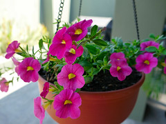 P1110078 (1) (nzboyinoz) Tags: flowers colour garden sunny australia mermaidwaters goldcoast queensland panasoniclumixdmctz110 justinvickers justinrvickersgmailcom