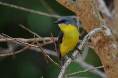 Eastern  Yellow Robin (cirdantravels (Fons Buts)) Tags: coth5 cirdantravels fonsbuts australia australianwildlife wildlifephotography naturalhabitat natur natuur nature wildanimal
