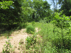 Habitat of Melanoplus fluviatilis (tigerbeatlefreak) Tags: melanoplus fluviatilis insect grasshopper orthoptera acrididae wisconsin habitat