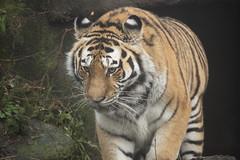 Amur tiger female (Korkeasaari Zoo) Tags: eläimet nisäkkäät kissalaakso amurintiikeri korkeasaareneläintarha korkeasaarizoo korkeasaari helsinkizoo högholmen högholmensdjurgård eläintarha zoo djurgård djurpark helsinki finland suomi bigcats