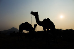 FARE-5 (rohanaggarwal6) Tags: pushkar fair culture rajasthan colours peace india love faith portaits camels camel mela