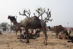 FARE-4 (rohanaggarwal6) Tags: pushkar fair culture rajasthan colours peace india love faith portaits camels camel mela