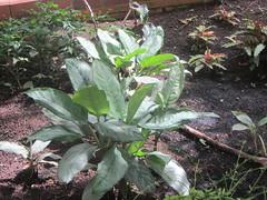 TR - 062, Aglaonema  Crispun  Nicolson, Arganzuela  Hothouse,  Madrid (d.kevan) Tags: plants leaves madrid arganzuelahothouse phillipines araceae tropicalzonei aglaonemacrispunnicolson tr062 tropcalzonei