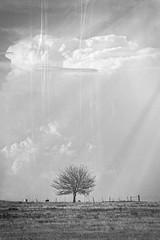 prairie tree (ranedge) Tags: oklahoma prairie tree cattle black white clouds alienskin exposure