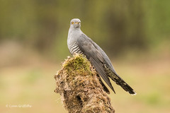 Cuckoo 501_9699.jpg (Mobile Lynn) Tags: birds cuckoosturacosbustards perched nature cuckoo bird cuculidae cuculuscanorus fauna otidimorphae wildlife