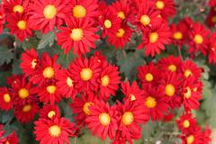 Καλημέρα! ~ Good morning! :-) (Argyro Poursanidou) Tags: flower colorful nature red yellow flora greece φύση λουλούδια χρυσάνθεμα chrysanthemums
