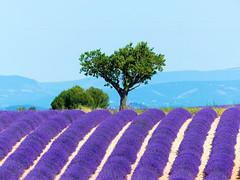 P1800837 (alainazer) Tags: valensole provence france fiori fleurs flowers fields champs ciel cielo colori colors couleurs sky lavande lavanda lavender arbre albero tree