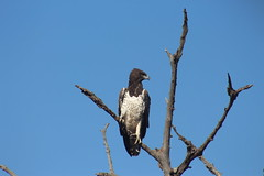 Martial Eagle (Rckr88) Tags: krugernationalpark southafrica kruger national park south africa martial eagle martialeagle eagles birds bird travel travelling trees tree animals animal nature naturalworld outdoors wildlife wilderness