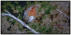 """""""PETIROJO"""" #photooftheday #photography #pentaxkx #paisajes #aves #sparrow #naturaleza #nature #landscape #saffsunset #vilagarciadearousa #vga_viva #VisitaOSalnés #vilagart #galeoska #galicia #galiciapasion #galiciavisión #galiciamaxica #queverengalicia #d (saffsunset) Tags: photooftheday pentaxkx galiciavisión nature saffsunset galiciamaxica vgaviva galeoska disfrutargalicia aves vilagarciadearousa vilagart galicia naturaleza galiciapasion visitaosalnés sparrow queverengalicia paisajes photography landscape"""
