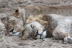 Lions - Zimanga - South-Africa (wietsej) Tags: lions zimanga southafrica sony rx10 rx10m4 rx10iv animal