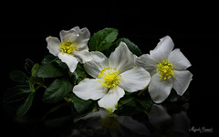 Bouquet (Magda Banach) Tags: hellebore nikond850 blackbackground bouquet colors flora flower flowers green macro nature plants reflection yellow