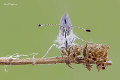 La mirada (Raul Espino) Tags: 2019 canon100mml canon6dmarkii macro macrofotografia natural naturaleza sevilla insectos mariposa