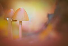 Mushrooms (Dhina A) Tags: sony a7rii ilce7rm2 a7r2 a7r bokeh kaleinar mc 100mm f28 kaleinar100mmf28 5n m42 nikonf russian ussr soviet 6blades manualfocus lens autumn fall