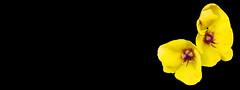 FLOR - MACRO (Joan Biarnés) Tags: flor macro elfar laselva girona catalunya 350 panasonicfz1000