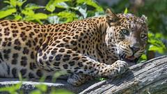 Scratching the log (Tambako the Jaguar) Tags: leopard big wild cat male profile portrait face scratching paw log branch tree sunny vegetation bratislava zoo slovakia nikon d5