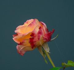 A Speical Find. (Omygodtom) Tags: speical flower flora rose composition colours red orange nature d7100 usgs macro