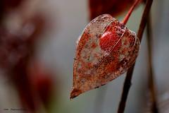 Little red treasure (Patricia Buddelflink) Tags: flower physalis lampionblume garden autumn nature