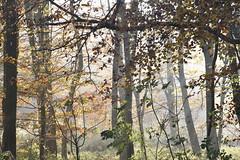 Novembermorgen auf Brunsholm; Bergenhusen, Stapelholm (40) (Chironius) Tags: stapelholm bergenhusen schleswigholstein deutschland germany allemagne alemania germania германия niemcy laub herbst herfst autumn autunno efteråret otoño höst jesień осень wald forest forêt лес bosque skov las rosids fabids buchenartige fagales buchengewächse fagaceae fagoideae buchen baum bäume tree trees arbre дерево árbol arbres деревья árboles albero rotbuche faia kayın beuken бук bok árvore ağaç boom träd fagus gegenlicht