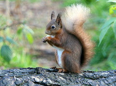 Red Squirrel (eric robb niven) Tags: ericrobbniven scotland redsquirrel wildlife nature springwatch dundee morton lochs