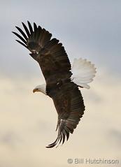 November 16, 2019 - A bald eagle takes flight. (Bill Hutchinson)