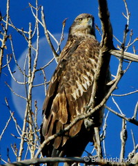 November 18, 2019 - A young bald eagle and the moon. (Bill Hutchinson)