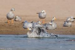 Bar Headed Goose (asheshr) Tags: 200500mm barheadedgoose nationalchambalgharialwildlifesanctuary nationalchambalsanctuary chambalriver d7200 goose nikkon nikkor anserindicus