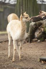 Vicuña foal (Korkeasaari Zoo) Tags: eläimet nisäkkäät vikunja korkeasaareneläintarha korkeasaarizoo korkeasaari helsinkizoo högholmen högholmensdjurgård eläintarha zoo djurgård djurpark helsinki finland suomi