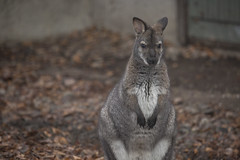 Red wallaby (Korkeasaari Zoo) Tags: eläimet punaniskakenguru nisäkkäät korkeasaareneläintarha korkeasaarizoo korkeasaari helsinkizoo högholmen högholmensdjurgård eläintarha zoo djurgård djurpark helsinki finland suomi