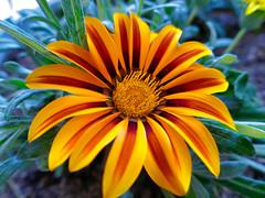 P1110075 (1) (nzboyinoz) Tags: flowers colour garden sunny australia mermaidwaters goldcoast queensland panasoniclumixdmctz110 justinvickers justinrvickersgmailcom