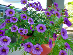 P1110086 (1) (nzboyinoz) Tags: flowers colour garden sunny australia mermaidwaters goldcoast queensland panasoniclumixdmctz110 justinvickers justinrvickersgmailcom