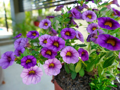 P1110083 (1) (nzboyinoz) Tags: flowers colour garden sunny australia mermaidwaters goldcoast queensland panasoniclumixdmctz110 justinvickers justinrvickersgmailcom