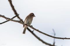 Indigo Bunting (Jay Paredes) Tags: bird bunting female immature songbird indigobunting passerinacyanea backyard coconutcreek browardcounty florida