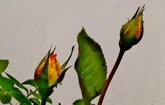 Blumen, Blüten, blossoms and flowers (serie) , Rosenknospen, 76809/12108 (roba66) Tags: blumen blüten fleur flori flor flora flores bloem plants pflanzen colores color colour coleur roba66 nature natur naturalezza blume flower rose rosenknospe