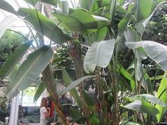 Banana tree (d.kevan) Tags: