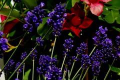 Blumen, Blüten, blossoms and flowers (serie) ,Lavendel  76810/12109 (roba66) Tags: blüten fleur flori flor flora flores bloem plants pflanzen colores color colour coleur roba66 nature natur naturalezza blume flower lavendel
