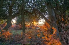 Bracken Sunrise (nicklucas2) Tags: landscape newforest fritham hampshire greenpond tree sunrise bracken