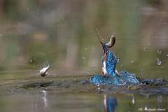 Martin pescatore _063 (Rolando CRINITI) Tags: martinpescatore uccelli uccello birds ornitologia avifauna castellapertole sangenuario natura
