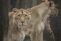 Asian lions (Korkeasaari Zoo) Tags: eläimet nisäkkäät kissalaakso aasianleijona korkeasaareneläintarha korkeasaarizoo korkeasaari helsinkizoo högholmen högholmensdjurgård eläintarha zoo djurgård djurpark helsinki finland suomi bigcats