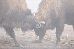 European bisons in fog (Korkeasaari Zoo) Tags: eläimet visentti nisäkkäät korkeasaareneläintarha korkeasaarizoo korkeasaari helsinkizoo högholmen högholmensdjurgård eläintarha zoo djurgård djurpark helsinki finland suomi