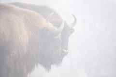Eueopean bisons in fog (Korkeasaari Zoo) Tags: eläimet visentti nisäkkäät korkeasaareneläintarha korkeasaarizoo korkeasaari helsinkizoo högholmen högholmensdjurgård eläintarha zoo djurgård djurpark helsinki finland suomi