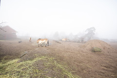 Przewalski's wild horses in fog (Korkeasaari Zoo) Tags: eläimet nisäkkäät mongolianvillihevonen korkeasaareneläintarha korkeasaarizoo korkeasaari helsinkizoo högholmen högholmensdjurgård eläintarha zoo djurgård djurpark helsinki finland suomi