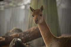 Vicuña (Korkeasaari Zoo) Tags: eläimet nisäkkäät vikunja korkeasaareneläintarha korkeasaarizoo korkeasaari helsinkizoo högholmen högholmensdjurgård eläintarha zoo djurgård djurpark helsinki finland suomi