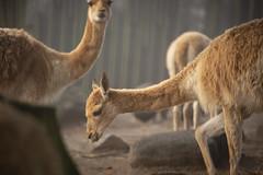 Vicuñas (Korkeasaari Zoo) Tags: eläimet nisäkkäät vikunja korkeasaareneläintarha korkeasaarizoo korkeasaari helsinkizoo högholmen högholmensdjurgård eläintarha zoo djurgård djurpark helsinki finland suomi