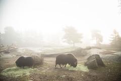 Musk oxes in fog (Korkeasaari Zoo) Tags: eläimet nisäkkäät myskihärkä korkeasaareneläintarha korkeasaarizoo korkeasaari helsinkizoo högholmen högholmensdjurgård eläintarha zoo djurgård djurpark helsinki finland suomi