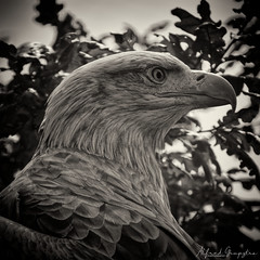 Portrait In A Tree (Alfred Grupstra) Tags: bird birdofprey animal eaglebird nature beak feather wildlife carnivore hawkbird animalsinthewild baldeagle animalshunting outdoors animalwing falconbird animalhead