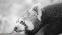 Panda - 7726 (✵ΨᗩSᗰIᘉᗴ HᗴᘉS✵85 000 000 THXS) Tags: blackandwhite nature panda redpanda pandaroux animal belgium europa aaa namuroise look photo friends be yasminehens interest eu fr party greatphotographers lanamuroise flickering sony sonydscrx10m4 pairidaiza
