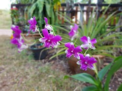 Unidentified purple and white orchid 10 (SierraSunrise) Tags: thailand isaan esarn nongkhai phonphisai plants flowers purple white orchidaceae orchids hanging epiphytes