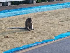 Macaca fascicularis (Raffles, 1821) Cercopithecidae-crab-eating macaque-ลิงแสม 1 (SierraSunrise) Tags: thailand isaan esarn nongkhai phonphisai animals mammals monkey rice grain drying road